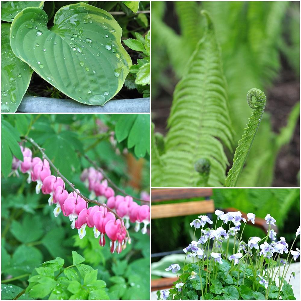 Gartenbilder mit Farn, Funkien